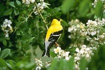 American_goldfinch_1