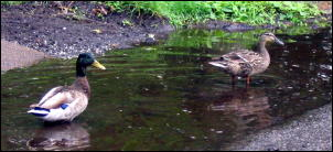 ducks_in_gutters