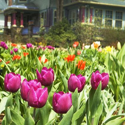 Tulips_park_street