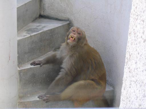 Angry_monkey_3