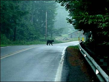 Bear_in_transit_2