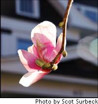 Magnoliablosssomwatchung_2